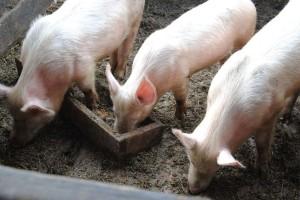 Домашні свині поза законом