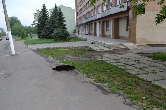 pes bila zori