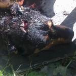 вбита у здолбунові собака (3)