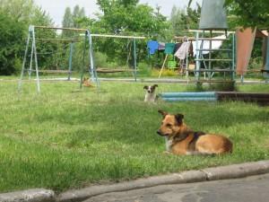 Бродячі собаки заполонили Квасилів2